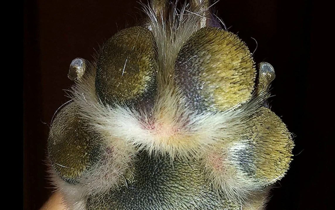 traction - paw pad overgrown